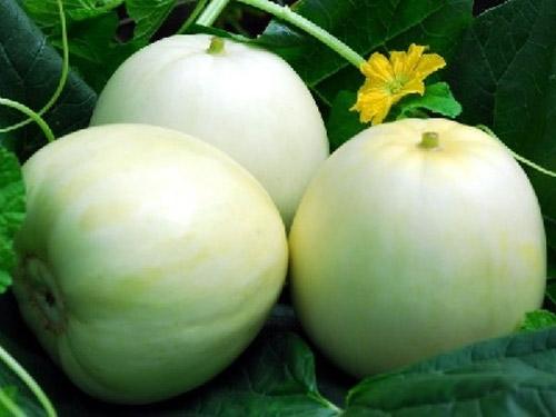 Kỹ thuật trồng dưa lê siêu ngọt