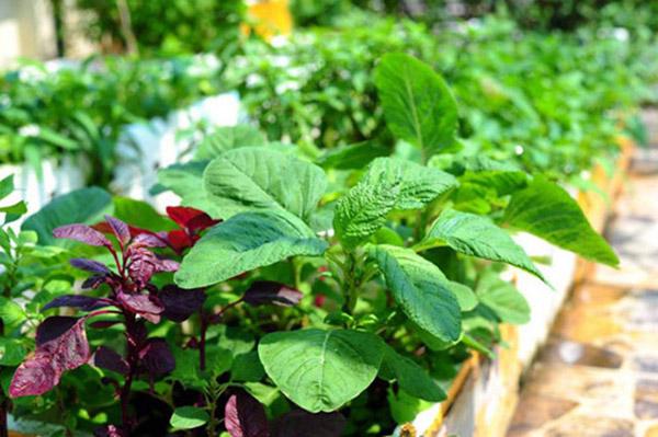 Kỹ thuật trồng rau dền an toàn