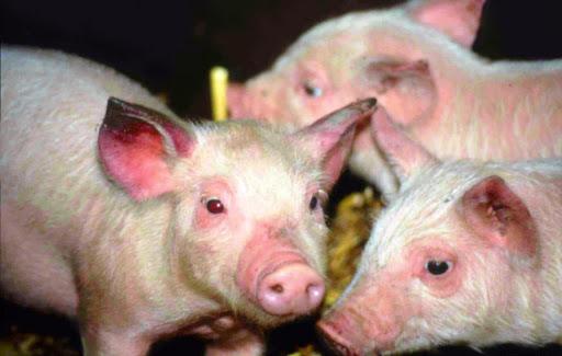 Phòng và xử lý bệnh liên cầu khuẩn ở lợn