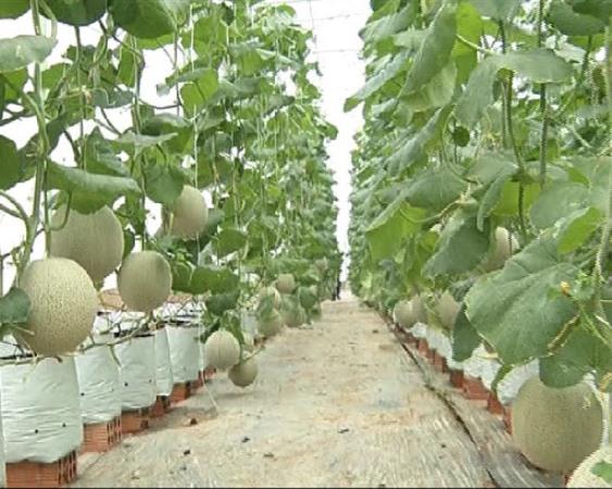 Nhà lưới trồng dưa hiệu quả cao