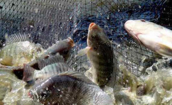 Một số lưu ý chăm sóc cá nuôi thời điểm giao mùa
