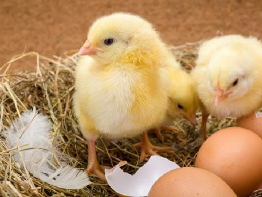 Nguyên nhân và cách xử lý hiện tượng gà con bị mất nước