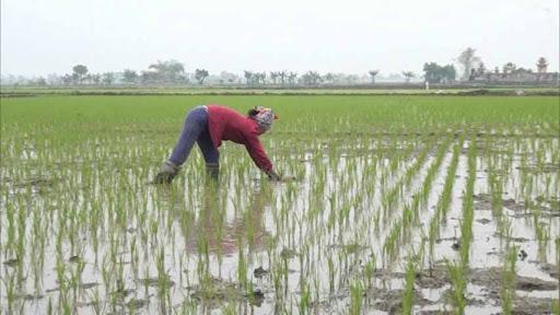 Một số lưu ý chống nóng cho mạ và lúa mới cấy