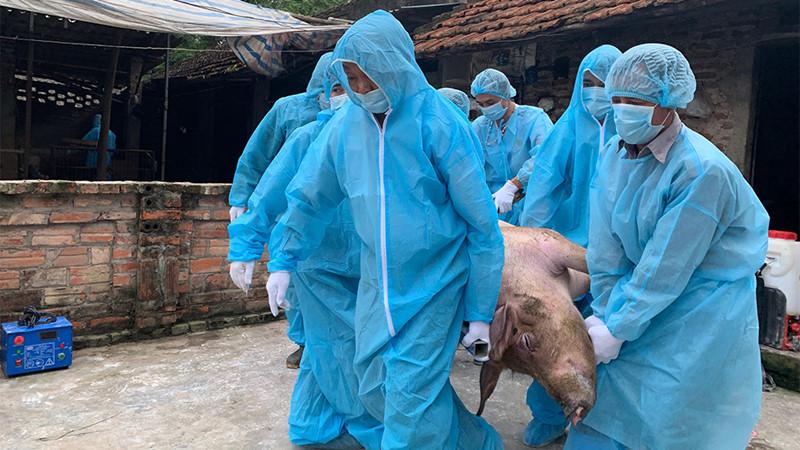 Dịch tả lợn Châu phi tái phát, người chăn nuôi tuyệt đối không chủ quan