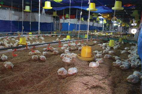Cách xử lý chất độn chuồng gà