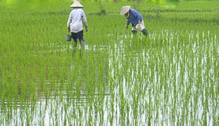 Phòng trừ cỏ dại, ốc bươu vàng hại lúa mùa năm 2020