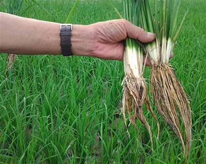 Khắc phục hiện tượng ngộ độc hữu cơ cho lúa vụ mùa