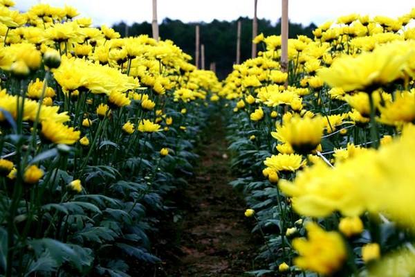 Những biện pháp phòng bệnh cho cây hoa cúc