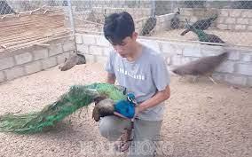 Làm giàu từ mô hình nuôi chim Công, gà Lôi tại Hải Phòng