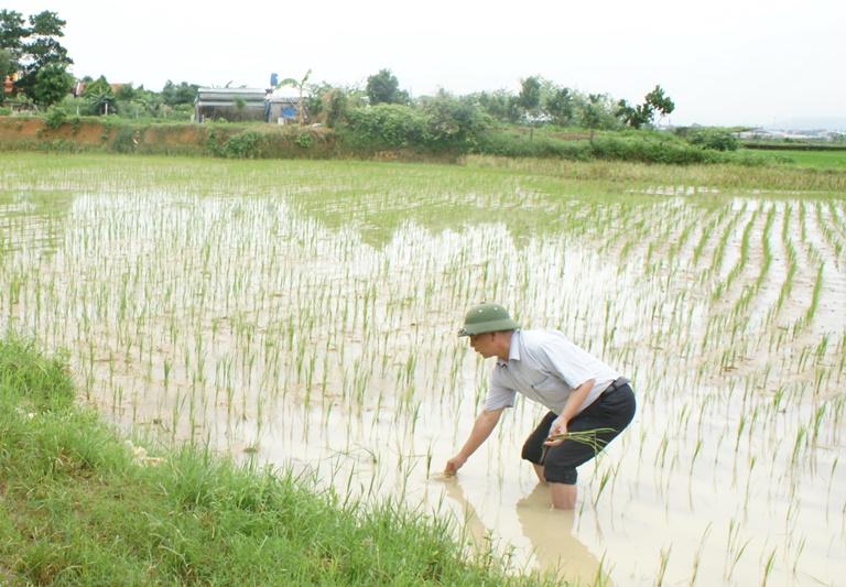 Khắc phục sản xuất lúa Mùa khi gặp mưa bão đầu vụ