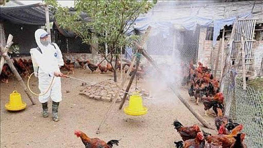 Tổng vệ sinh môi trường phòng, chống bệnh gia súc, gia cầm dịp Tết