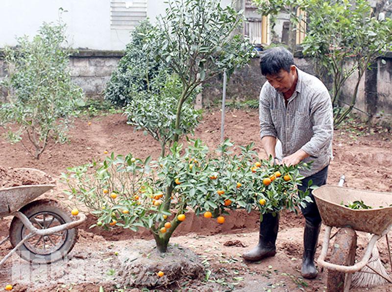 Cách trồng và chăm sóc cây quất cảnh sau Tết
