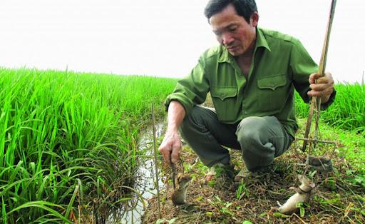 Biện pháp phòng trừ chuột hại lúa