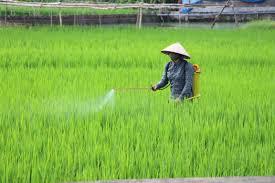 Tình hình sâu bệnh hại lúa cuối vụ và biện pháp phòng trừ