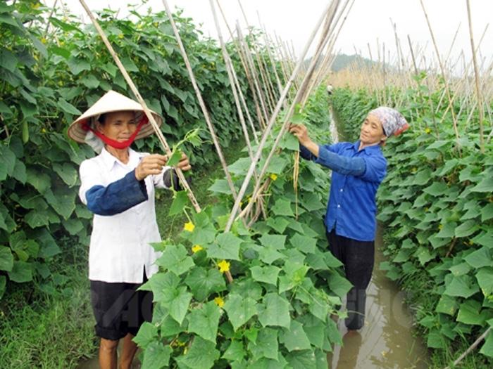 Kỹ thuật trồng dưa chuột vụ xuân sớm