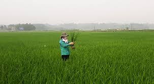 Một số biện pháp chăm sóc lúa mới cấy và  lưu ý bệnh Lùn sọc đen vụ mùa 2021