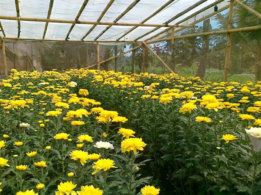 Mô hình trồng hoa cúc dược liệu và rau hữu cơ
