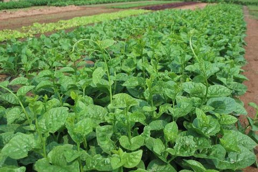 Mồng tơi Hàn Quốc dễ trồng, cho hiệu quả cao