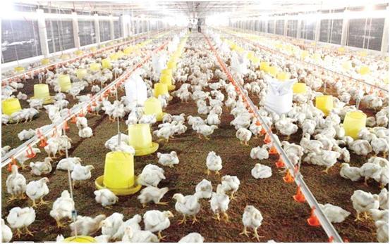 Những lưu ý khi chăm sóc nuôi dưỡng gia súc, gia cầm giai đoạn chuyển mùa thu đông