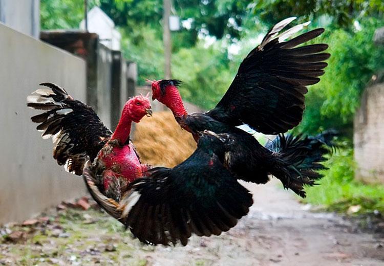 Chăm sóc, tẩm bổ dinh dưỡng cho gà chọi, gà nòi