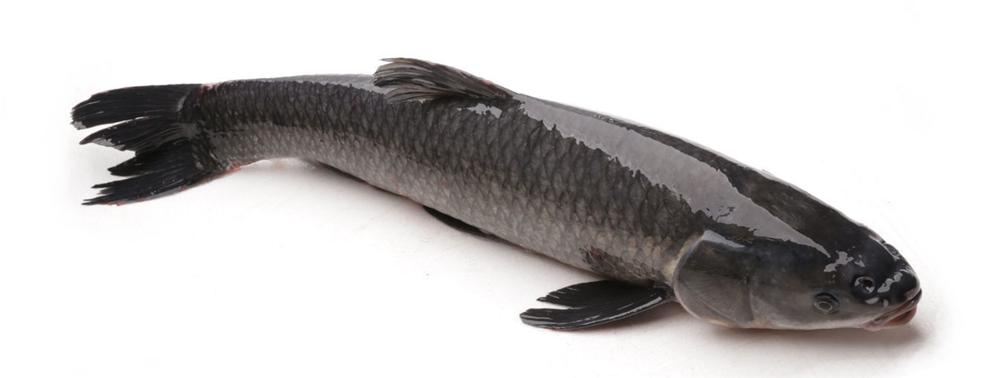 Giới thiệu kỹ thuật nuôi thâm canh cá trắm đen