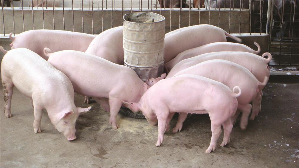 Ứng dụng men vi sinh trong chăn nuôi
