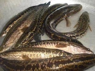 Cá lóc bông dễ nuôi, lãi khá