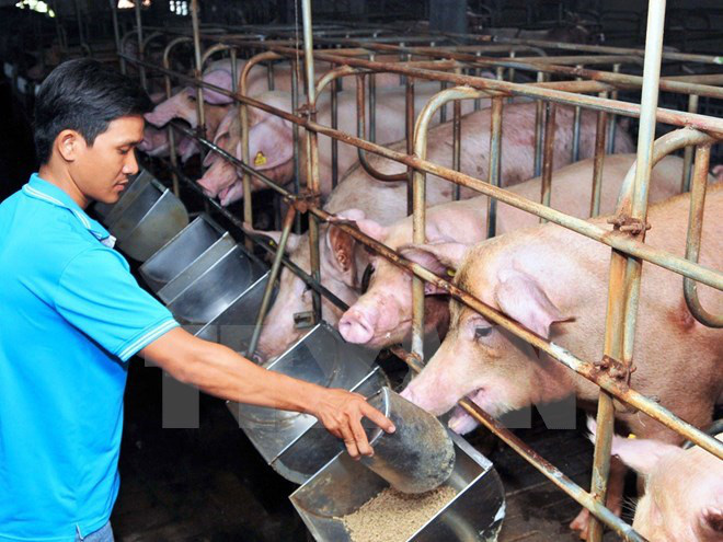Một số giải pháp người chăn nuôi lợn có thể áp dụng trong giai đoạn giá lợn xuống thấp như hiện nay