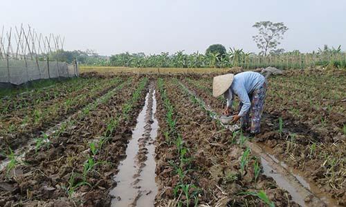 Một số lưu ý trong sản xuất cây trồng vụ Đông năm 2017