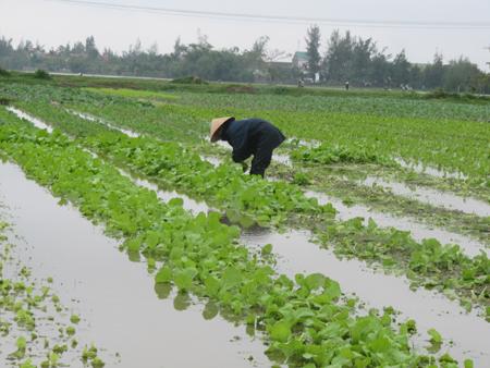 Những lưu ý nhằm khắc phục thiệt hại cho lúa và rau màu sau mưa