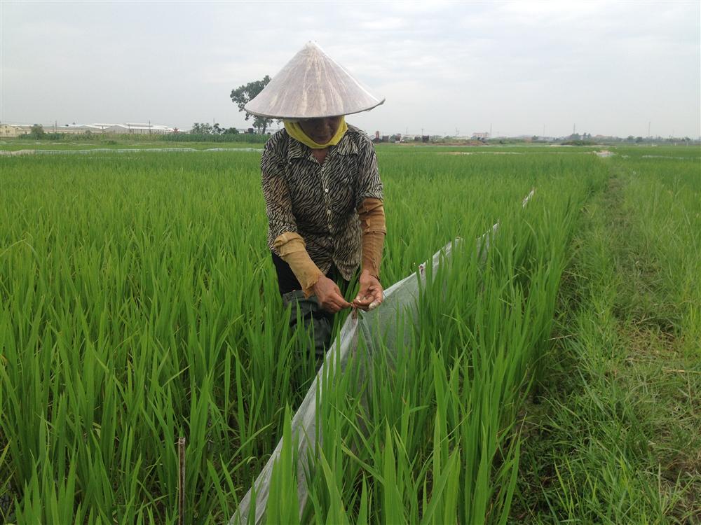 Tăng cường các biện pháp diệt chuột và phòng trừ bệnh lùn sọc đen hại lúa bảo vệ sản xuất nông nghiệp năm 2018
