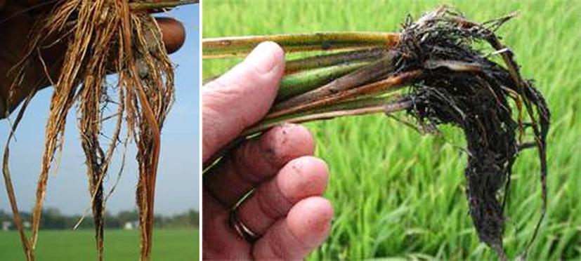 Xử lý lúa bị ngộ độc hữu cơ sau cấy vụ mùa 2017
