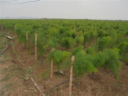 Điều kiện vườn trồng và kỹ thuật ươm cây giống măng tây