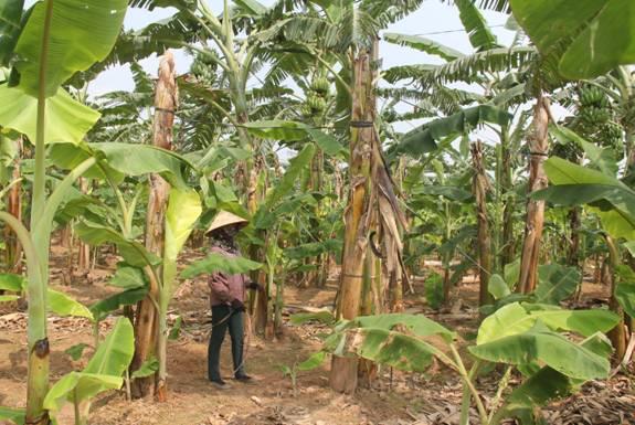 Thu lãi hàng trăm triệu đồng từ trồng chuối tây Thái Lan