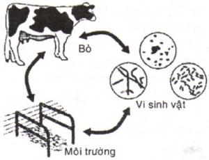 Chứng ngộ độc ở bò