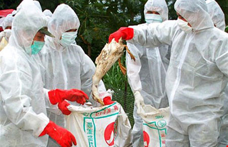 Tình hình dịch cúm gia cầm và một số lưu ý đối với hộ chăn nuôi gia cầm
