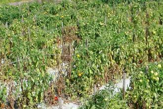 Phòng trừ bệnh héo xanh vi khuẩn hại cây trồng vụ đông